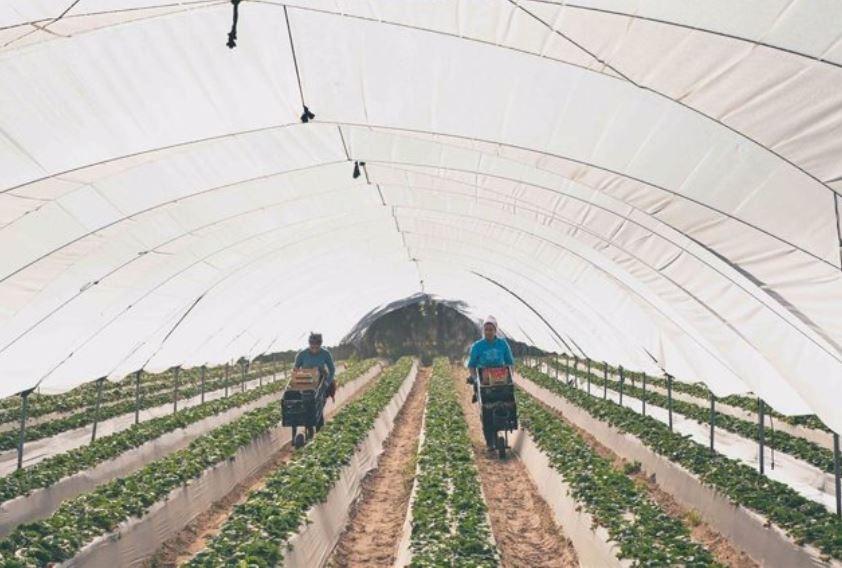 Freshuelva culmina la campaña con una producción de 281.000 toneladas de fresas